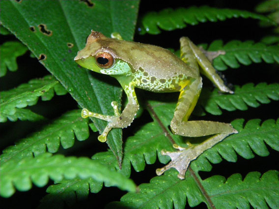 The male Quang's tree frog has uniquely complex vocalizations. Photo by: Jodi J. L. Rowley/Australian Museum.