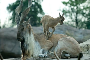 Male markhor with kid. Photo by: Graham Jones/Columbus Zoo and Aquarium.