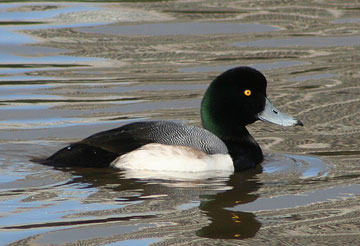 Greater scaup (Aythya marila). Photo by: Calibas.
