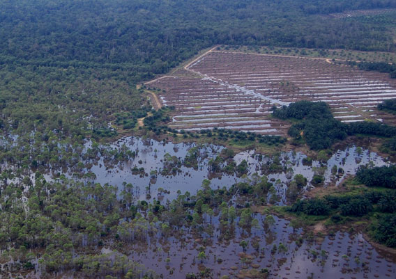 This series of pictures clearly highlights the fact that these land areas were not suitable for conversion to oil palm.  Note, the difference between the flooded oil palm plantation areas and the forest with native trees.  This clearly illustrates that oil palm should not be planted here and the land should be replanted back into native forest. Photo credit HUTAN/Marc Ancrenaz.
