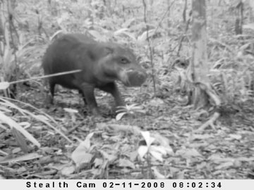 Camera trap photo of the Endangered pygmy hippo (Choeropsis liberiensis), Sapo National Park, Liberia. This is the first photo captured of a wild pygmy hippo in Liberia. © Ben Collen/ZSL/FFI/FDA.