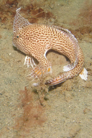 Spotted handfish. Photo by: Mark Green - CSIRO.