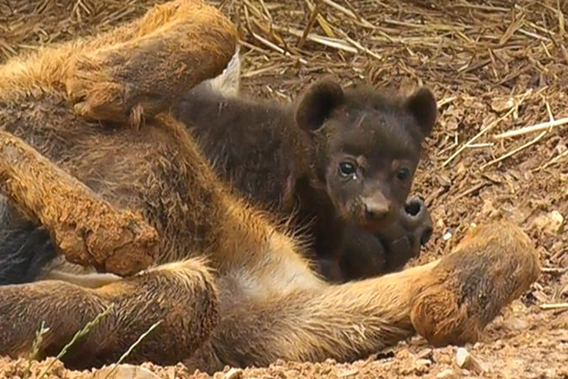 The new cub is the first one ever born at the zoo. Photo courtesy of Colchester Zoo.