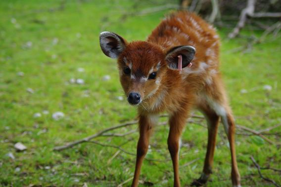 A baby sitatunga born recently at Zoological Society of London's (ZSL) Whipsnade Zoo. Photo courtesy of ZSL Whipsnade Zoo.