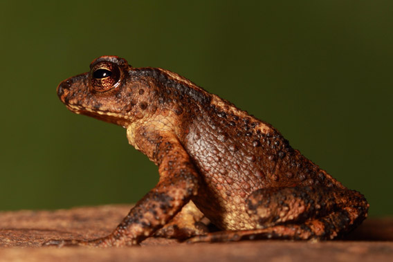 The Kandyan dwarf toad hadn't been seen for over a century until researchers stumbled on it in 2009. Photo courtesy of: L.J. Mendis Wickramasinghe.