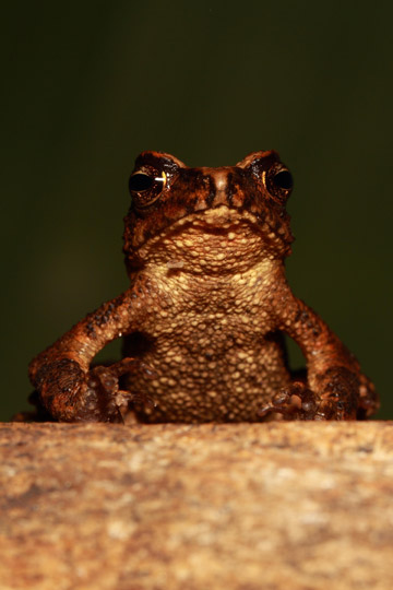 Another view of the Kandyan dwarf toad. Photo courtesy of: L.J. Mendis Wickramasinghe.