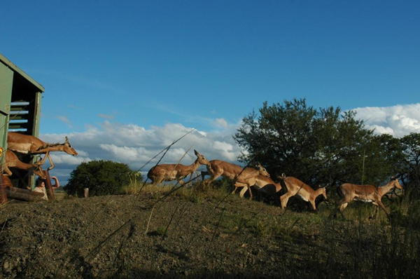 Impala release. Photo courtesy of Colchester Zoo: Action for the Wild.