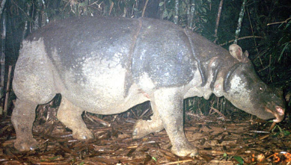 Vietnamese rhino. Photo courtesy of WWF.