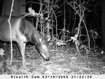 Camera trap photo of the Endangered Jentink's Duiker (Cephalophus jentinki), Sapo National Park, Liberia © Ben Collen/ZSL/FFI/FDA.