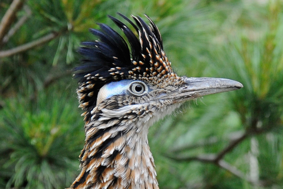 Male greater roadrunner at the Wildlife Conservation Society's Bronx Zoo. Photo by: Julie Larsen Maher.