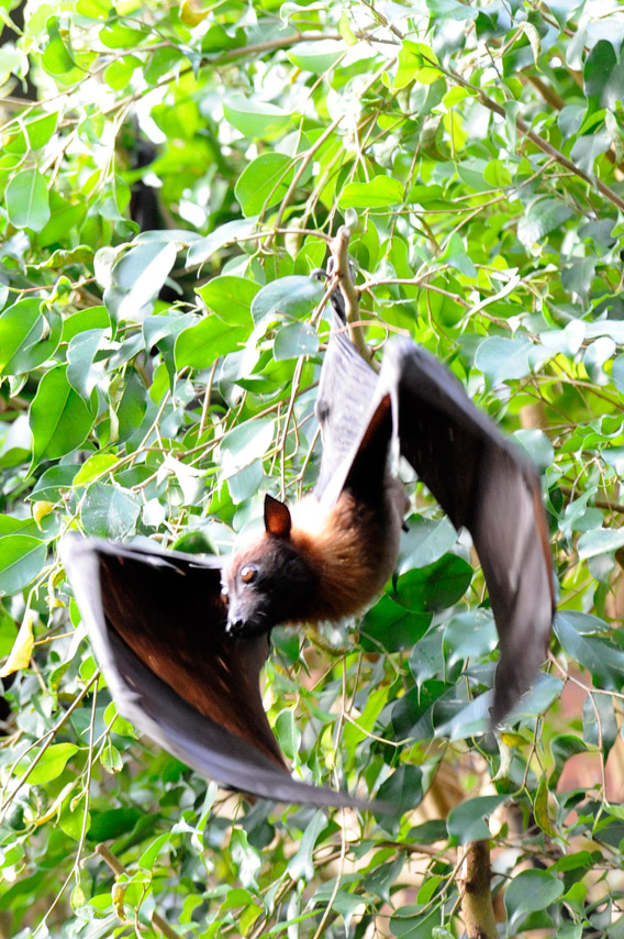 Indian flying fox roosting at the WCS Bronx Zoo. Photo by: Julie Larsen Maher/WCS.