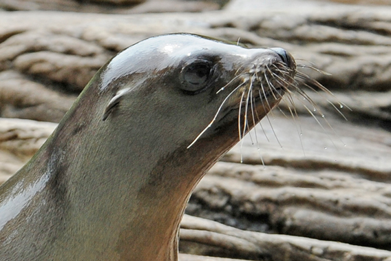 Close-up of saved California sea lion. Photo by: Julie Larsen Maher.