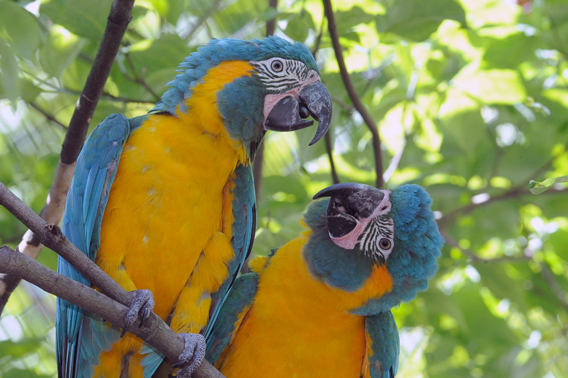 Two blue-throated macaws perch on a branch in the historic aviary at the Wildlife Conservation Society's Queens Zoo. Photo by: Julie Larsen Maher.