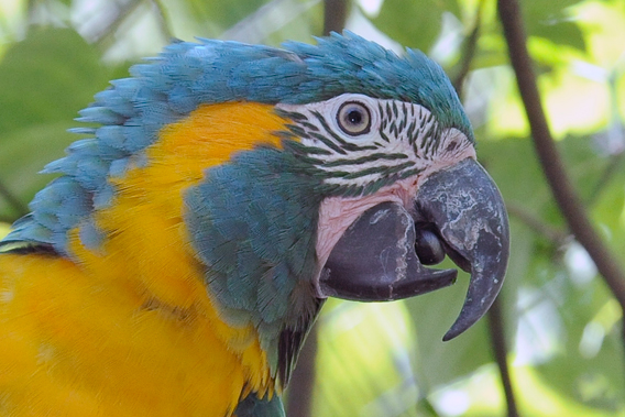 Close-up blue-throated macaw. Photo by: Julie Larsen Maher.