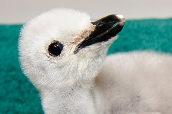 Close-up chinstrap penguin chick. Photo by: Julie Larsen Maher.