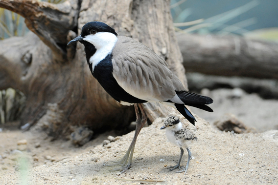 Spur-winged lapwing adult and chick. Photo by: Julie Larsen Maher.