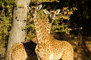 Thornicroft's giraffe in the Luangwa Valley. Photo by: Julie Larsen Maher/WCS.