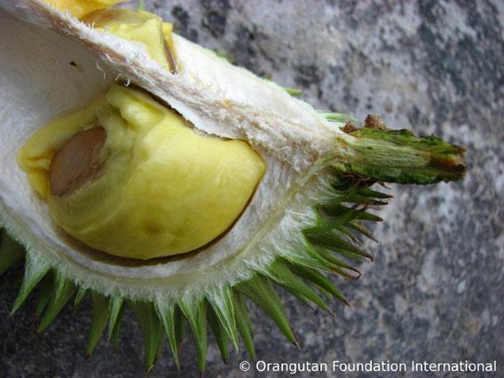 Karantungan fruit. Photo courtesy of Orangutan Foundation International.