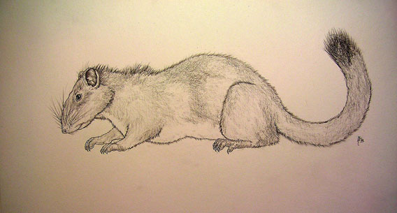 The discovery of the Kha-nyou shocked researchers as this family of rodents was supposed to be extinct for millions of years. Illustration by Markus Buhler.