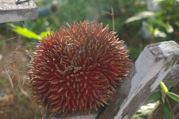 Kusi fruit. Photo courtesy of Orangutan Foundation International.