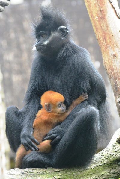 Mom and baby Francois langur at the London zoo. Photo courtesy of ZSL.