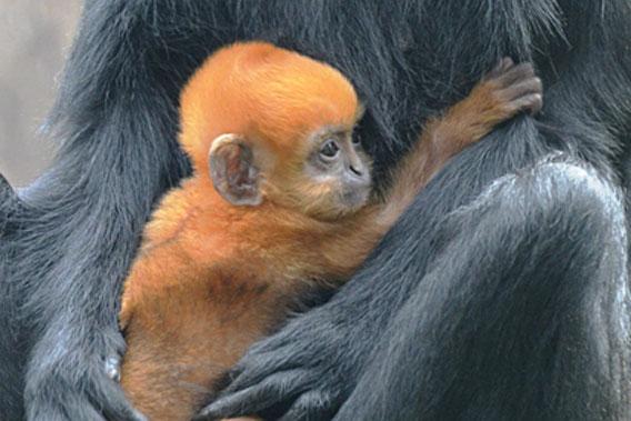 Close-up of baby Francois langur.