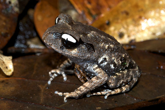 Leptobrachium leucops: a new species from Vietnam discovered by Rowley and colleagues in 2011.  Photo by: Jodi J. L. Rowley/Australian Museum.