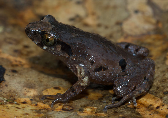 Leptolalax applebyi was discovered by Rowley and colleagues in 2009 in Vietnam. Photo by: Jodi J. L. Rowley/Australian Museum.