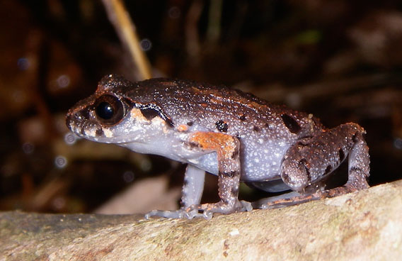 Leptolalax melicus was discovered by Rowley and colleagues in 2010. Photo by: Jodi J. L. Rowley/Australian Museum.