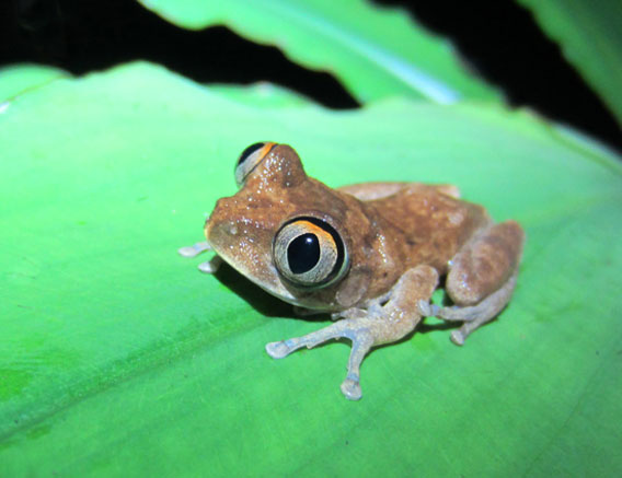 One of Ghana's 78 recorded frogs: Leptopeles spiritusnoctis.