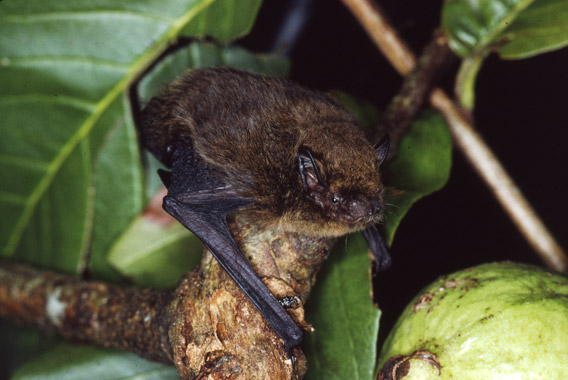 A Christmas Island pipistrelle. Photo by: Lindy Lumsden.