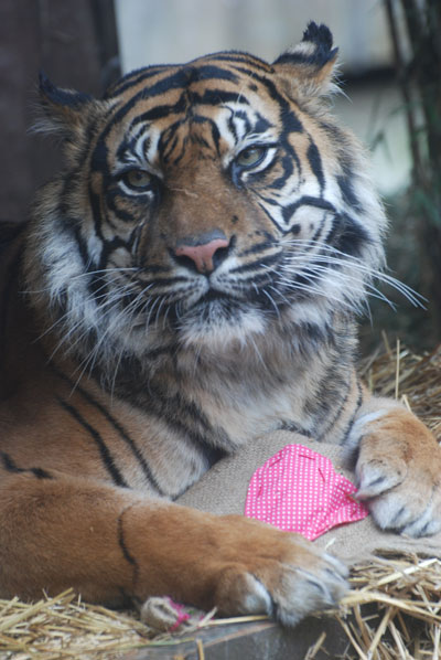 The Sumatran tiger, Lumpur, with scented pillow. Photo courtesy of the Zoological Society of London (ZSL).