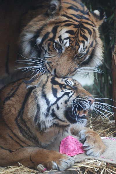 Raika and Lumpur share signs of tiger-affection. Photo courtesy of the Zoological Society of London (ZSL).