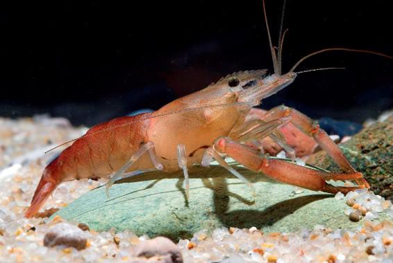 Shrimp Species New Species of Shrimp