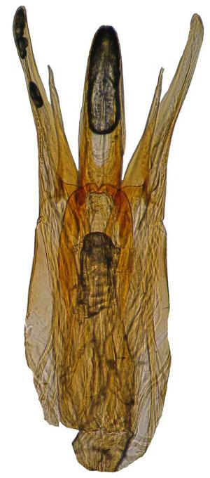 Macratria-dumogaense-PT-M-aed.300.jpg