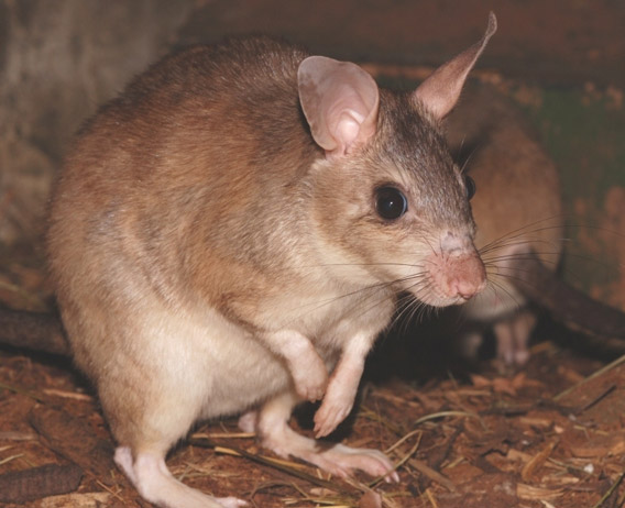 Adult Malagasy giant jumping rat. Photo courtesy of ZSL.