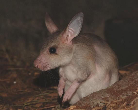 Baby Malagasy giant jumping rat. Photo courtesy of ZSL.