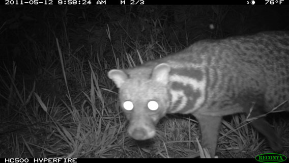 A Malay civet (Viverra-tangalunga) gets close to a camera trap in Kalimantan, Indonesia. Photo by: Brent Loken/Ethical Expeditions.