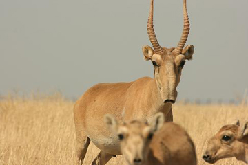 Male saiga. Poaching has largely been driven by the trade in traditional Chinese medicine, which uses male saiga horns. Photo by: Navinder Singh.