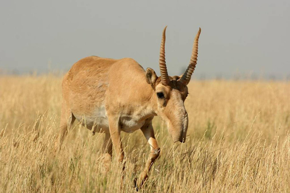 Male saiga in the steppe . Photo by: Navinder Singh..