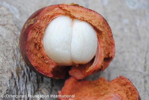Manggis fruit. Photo courtesy of Orangutan Foundation International.