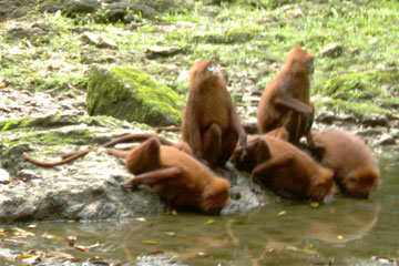 A troupe of maroon langurs (Presbytis-rubicunda). Photo by: Brent Loken/Ethical Expeditions.