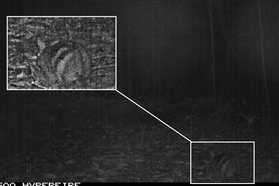 The second Sumatran striped rabbits caught on camera trap by McCarthy. Photo by: Jennifer McCarthy.