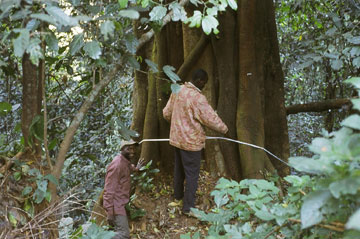 Measuring a large ficus species. Photo courtesy of: Hazel Chapman.