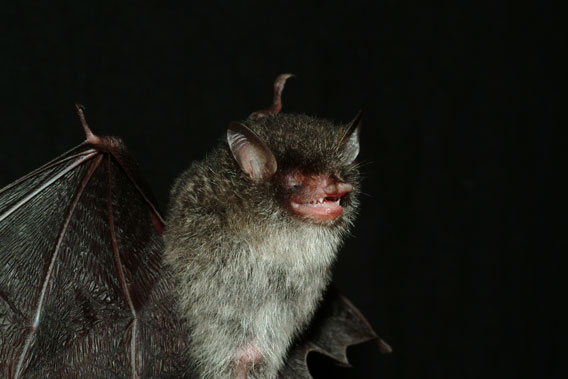 New bat species with an evocative name: Murina beelzebub. Photo by: Gabor Csorba.