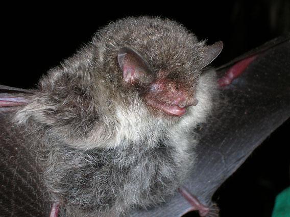New bat species: Murina cineracea. Photo by: Neil Furey.