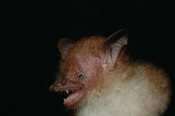 New bat species named after Joe Walston, Wildlife Conservation Society's (WCS) Executive Director for Asia Programs: Murina walstoni. Photo by: Gabor Csorba.
