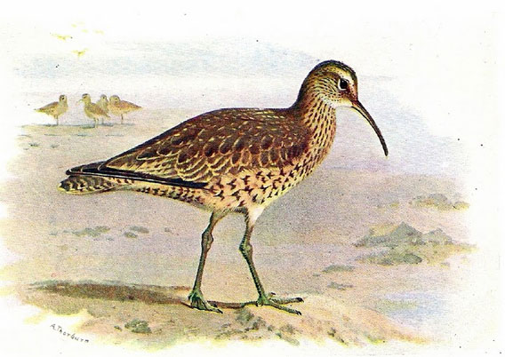 The Eskimo curlew painted by Archibald Thorburn.