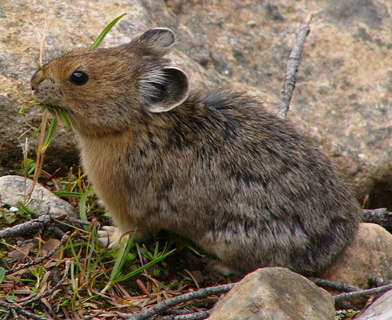 An American pika (Ochotona princeps) in Colorado. Photo in Public Domain..