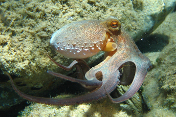 The European octopus, and other cephalopods, is more sensitive to even low-frequency sounds than researchers expected. Photo by: Gewöhnlicher Krake.